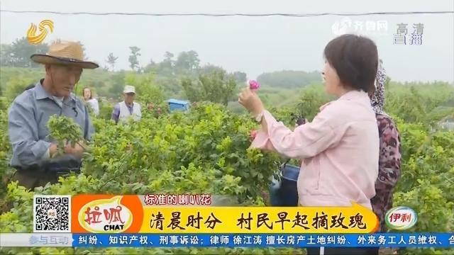 【齐鲁最美乡村】荣成:清晨时分 村民早起摘玫瑰