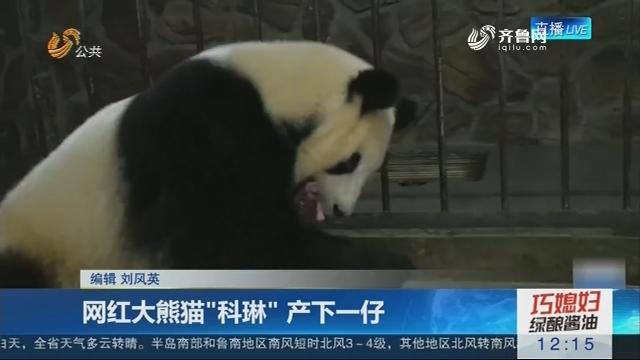 """网红大熊猫""""科琳""""产下一仔"""