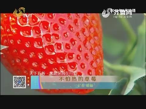 【天下五谷·果蔬保姆在行动】不怕热的草莓
