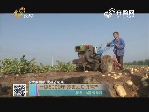 【农大腐植酸 挑战吉尼斯】一亩8000斤 冻害之后仍高产