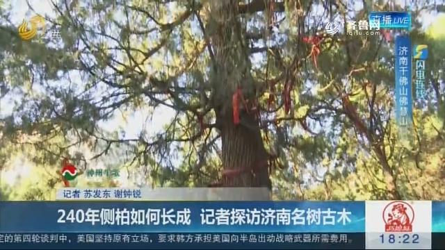 【闪电连线】240年侧柏如何长成 记者探访济南名树古木
