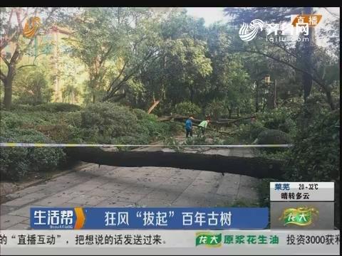 """济南:狂风""""拔起""""百年古树"""
