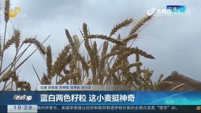 【跑政事】蓝白两色籽粒 这小麦挺神奇