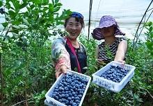 山东日照陈疃:蓝莓产业助推农民致富
