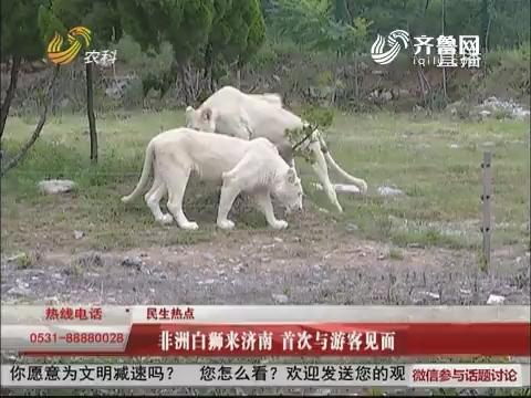 【民生热点】非洲白狮来济南 首次与游客见面