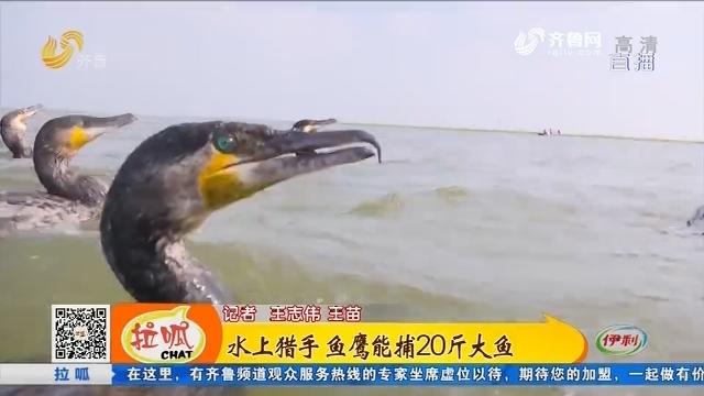 济宁:水上猎手 鱼鹰能捕20斤大鱼