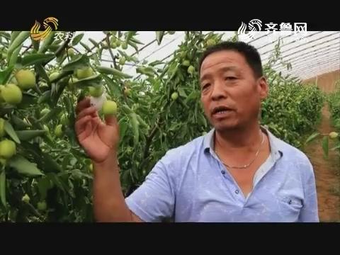 【小螺号·农技服务直通车】大热天里卖冬枣
