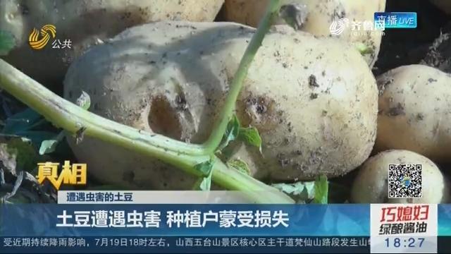 【真相】遭遇虫害的土豆:土豆遭遇虫害 种植户蒙受损失