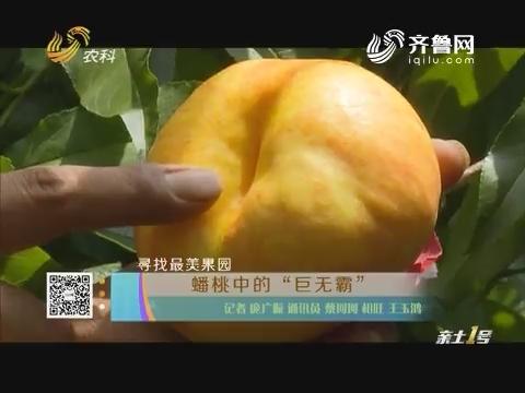 """寻找最美果园:蟠桃中的""""巨无霸"""""""