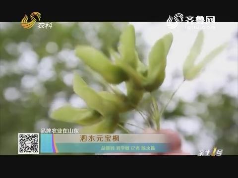 【品牌农业在山东】泗水元宝枫