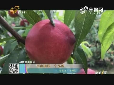 【寻找最美果园】百亩桃园一个品种