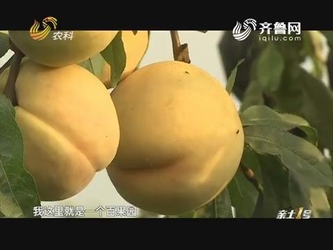 寻找最美果园:孙广军的百桃园