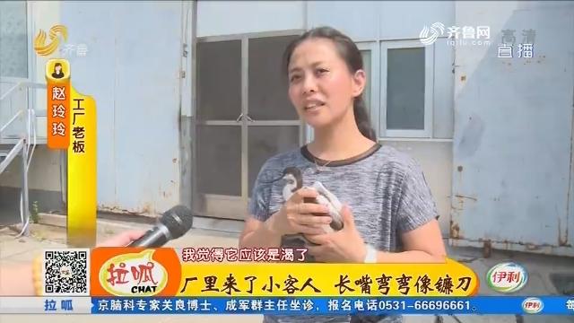 宁津:厂里来了小客人 长嘴弯弯像镰刀
