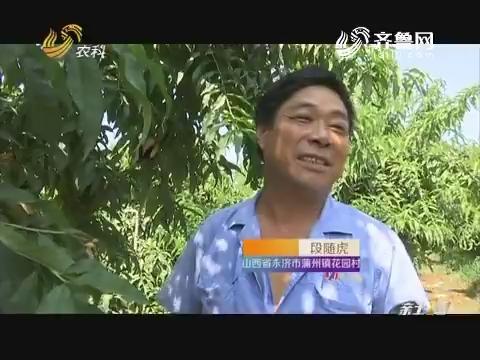 """【寻找最美果园】黄河畔""""黄桃""""香"""