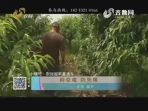 小螺号·农技服务直通车:种草莓 防死棵