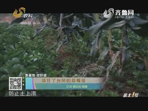 【走基地 找好苗】顶住了台风的草莓苗