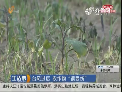 """菏泽:台风过后 农作物""""很受伤"""""""