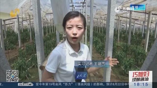 【菜价涨幅明显】探访青州谭坊镇青椒大棚 减产八成以上