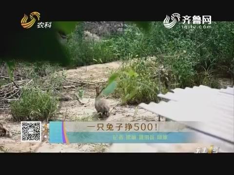 一只兔子挣500!