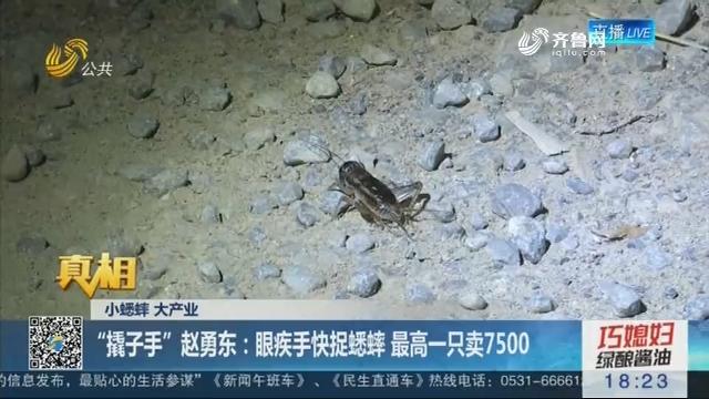 """【真相】小蟋蟀 大产业——""""撬子手""""赵勇东:眼疾手快捉蟋蟀 最高一只卖7500"""