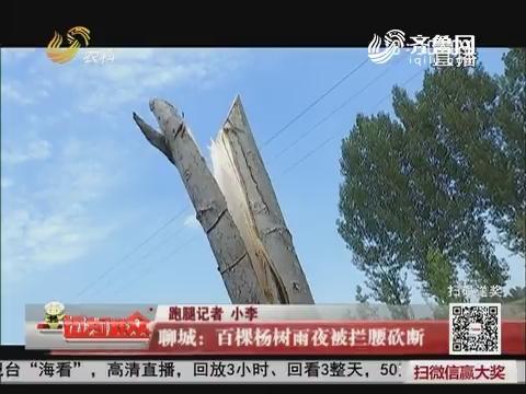 聊城:百棵杨树雨夜被拦腰砍断