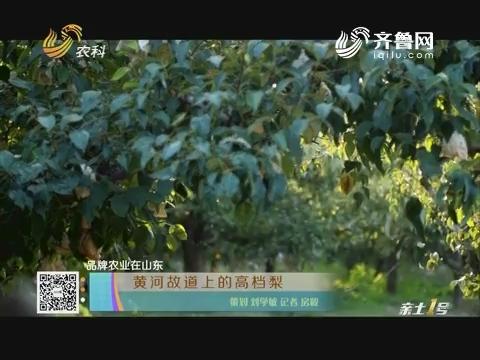 【品牌农业在山东】黄河故道上的高档梨