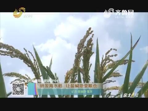 【走进青岛海水稻研发中心】研发海水稻 让盐碱地变粮仓