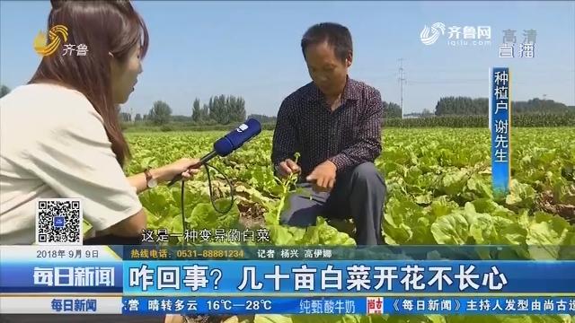 宁阳:咋回事?几十亩白菜开花不长心
