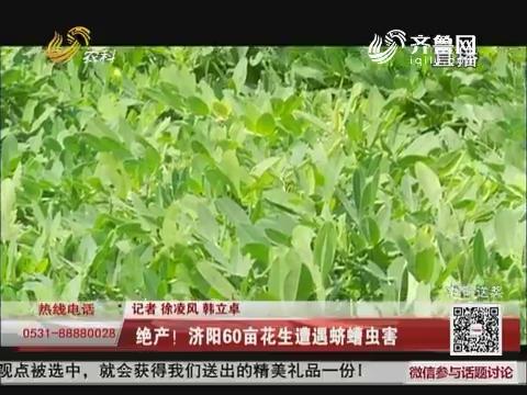 绝产!济阳60亩花生遭遇蛴螬虫害