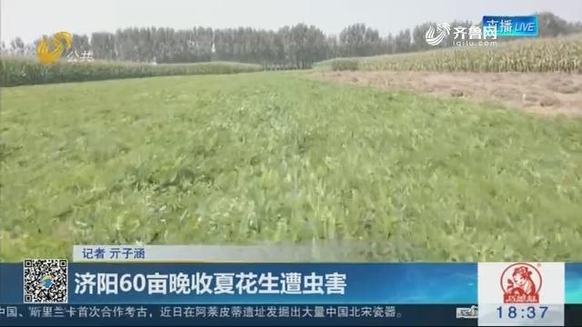济阳60亩晚收夏花生遭虫害