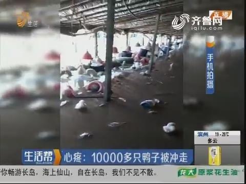 潍坊:心疼 10000多只鸭子被冲走