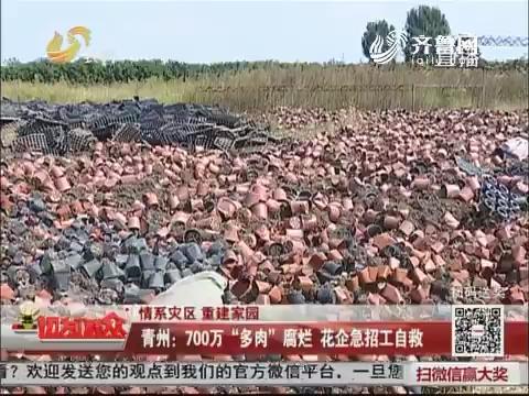 """【情系灾区 重建家园】青州:700万""""多肉""""腐烂 花企急招工自救"""