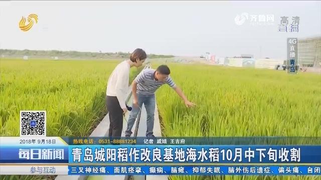 4G直播:青岛城阳稻作改良基地海水稻10月中下旬收割