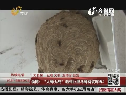 """【大真探】淄博:""""人蜂大战"""" 遇到巨型马蜂窝该咋办?"""