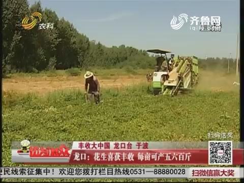 【丰收大中国】龙口:花生喜获丰收 每亩可产五六百斤