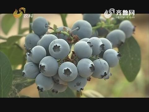 农科大户俱乐部:蓝莓种植大户的绿色课堂