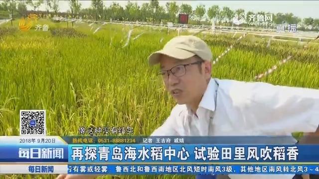再探青岛海水稻中心 试验田里风吹稻香