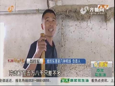 """潍坊:围墙被冲垮 种鸭""""顺流而下"""""""