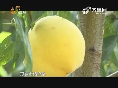 """【寻找最美果园】果农致富""""金黄金"""""""