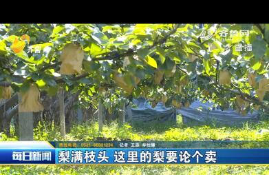章丘:这里的梨按个卖 回乡大学生喜迎丰收
