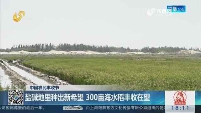 【中国农民丰收节】盐碱地里种出新希望 300亩海水稻丰收在望