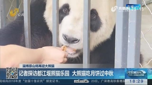 【淄博原山将再迎大熊猫】记者探访都江堰熊猫乐园 大熊猫吃月饼过中秋