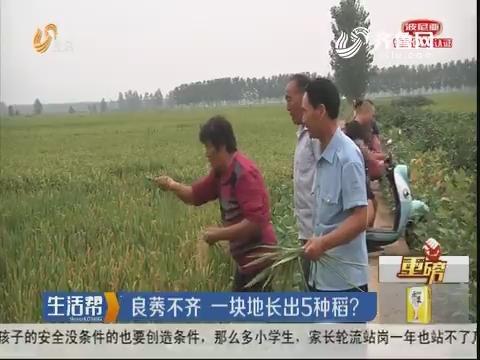 【重磅】临沂:良莠不齐 一块地长出5种稻?