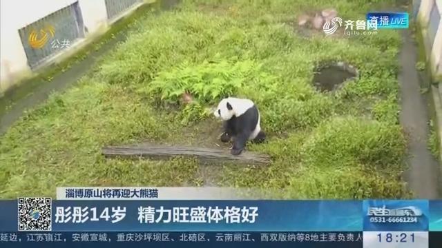 【淄博原山将再迎大熊猫】要来山东的大熊猫首次亮相