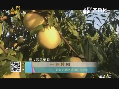 【寻找最美果园】千鹅桃园
