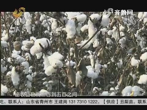 棉花行情低迷 轻简化植棉是出路