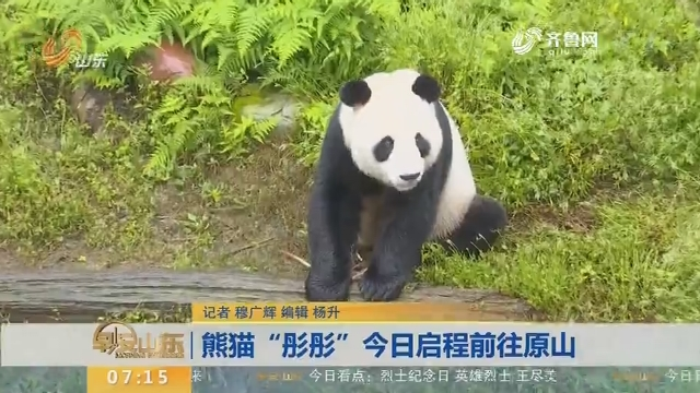 """熊猫""""彤彤""""今日启程前往原山"""