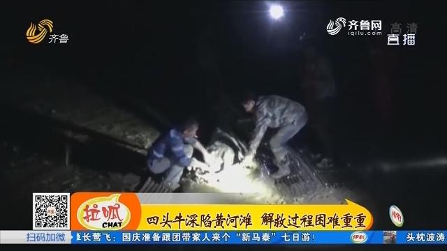 菏泽:四头牛深陷黄河滩 解救过程困难重重