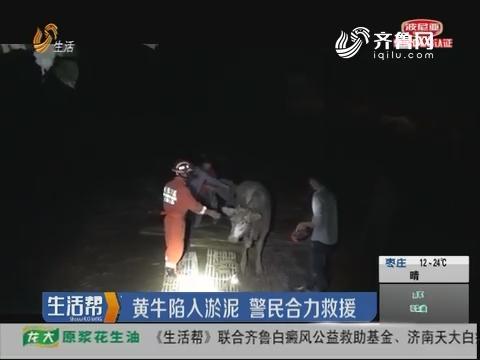 菏泽:黄牛陷入淤泥 警民合力救援