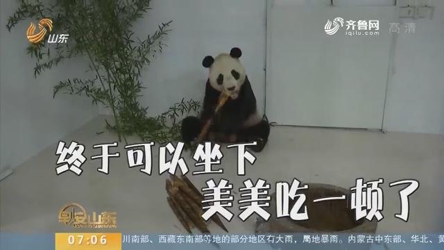 历经12小时 大熊猫彤彤入住淄博原山新家
